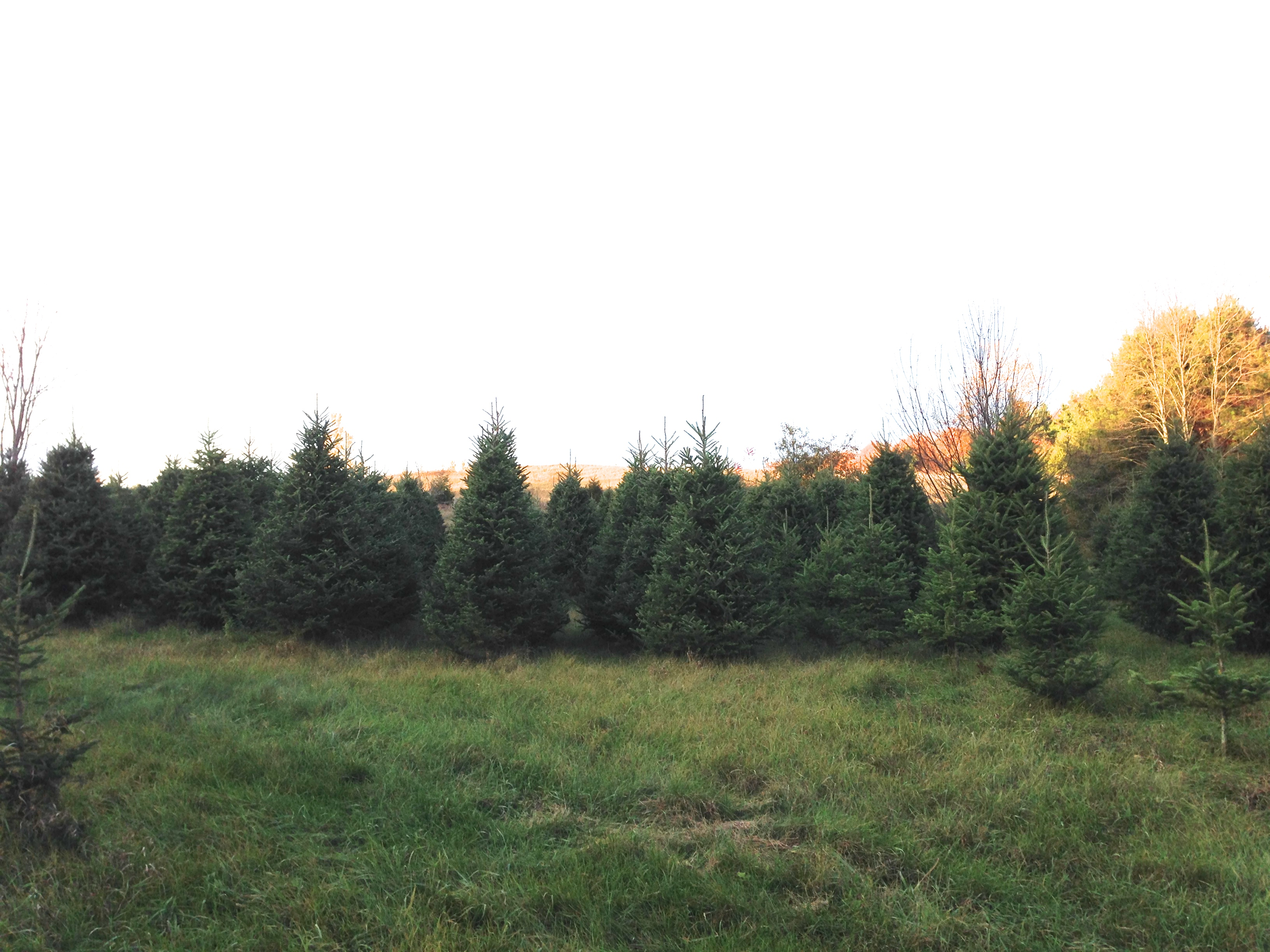 Little Lake Christmas Trees The Smyth Family Farm